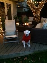 Christmas Daisy.